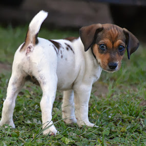 Jack Russel Puppy by Danette de Klerk - Animals - Dogs Puppies ( jack russell terrier, best friend, puppy, animal, canine, baby animals, dog )