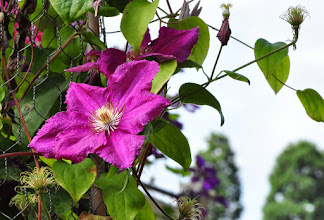 Photo: Clematis 'Ernes Markham' AGM 1993