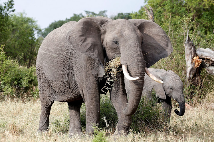 A female African elephant and her calf graze at the Singita Grumeti Game Reserve, Tanzania on October 7 2018. Picture: REUTERS/Baz Ratner