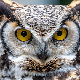 Great Horned Owl by Keith Sutherland - Animals Birds ( great horned owl )