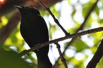 Photo: Bronzed Cowbird (Rotaugenkuhstärling); Tolantongo, HGO