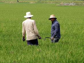 Photo: Workers in rice field, Deltebre
