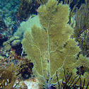Venus Sea Fan