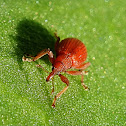 Red apion weevil