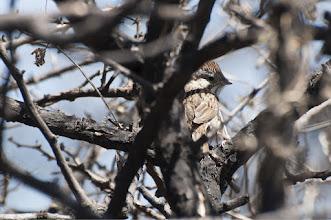 Photo: Rufous-crowned Sparrow (Rostscheitelammer); San Miguel de Allende, GTO