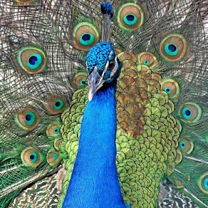 Peacock posing.jpg