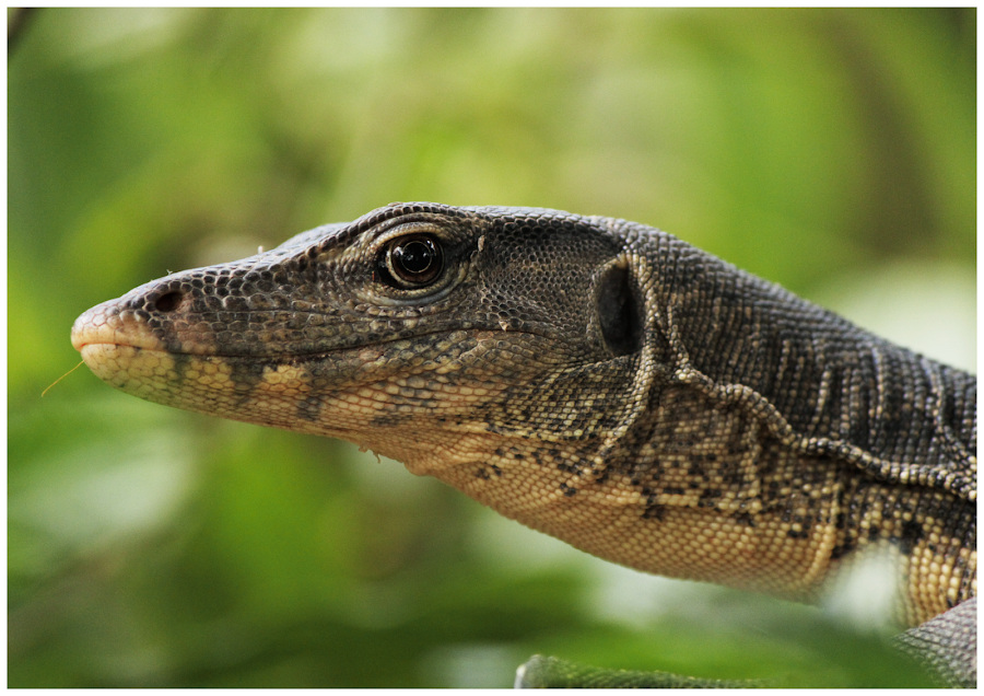 Monitor Lizard by Arunkumar Boyidapu - Animals Reptiles ( reptiles, lizard, monitor, komodo, brown, singapore, closeup,  )