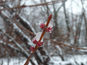 Photo: Silver maple - female flowers and ice