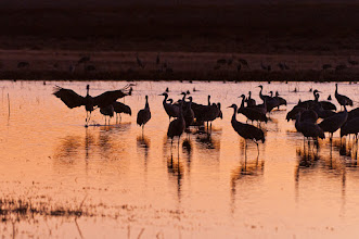 Photo: Sandhill cranes at sunset; Bosque del Apache