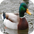 Duck Sounds Button icon