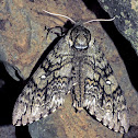 Waved Sphinx Moth