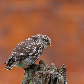 lunch by Chris Williams - Animals Birds ( owl, wildlife )