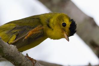 Photo: Wilson's Warbler Dos Vacas Muertas Bird Sanctuary