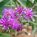 Baldwin's Ironweed