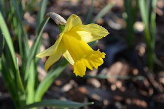 Photo: 'Rijnveld's Early Sensation' - an early blooming daffodil in Flagler Garden