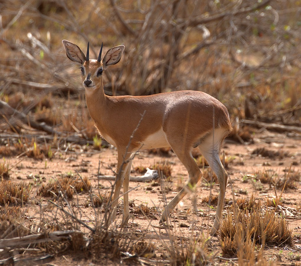 steenbok (Copy).jpg