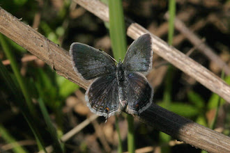 Photo: Cupido comyntas sissona (W. G. Wright, 1905), female - The Eastern Tailed Blue