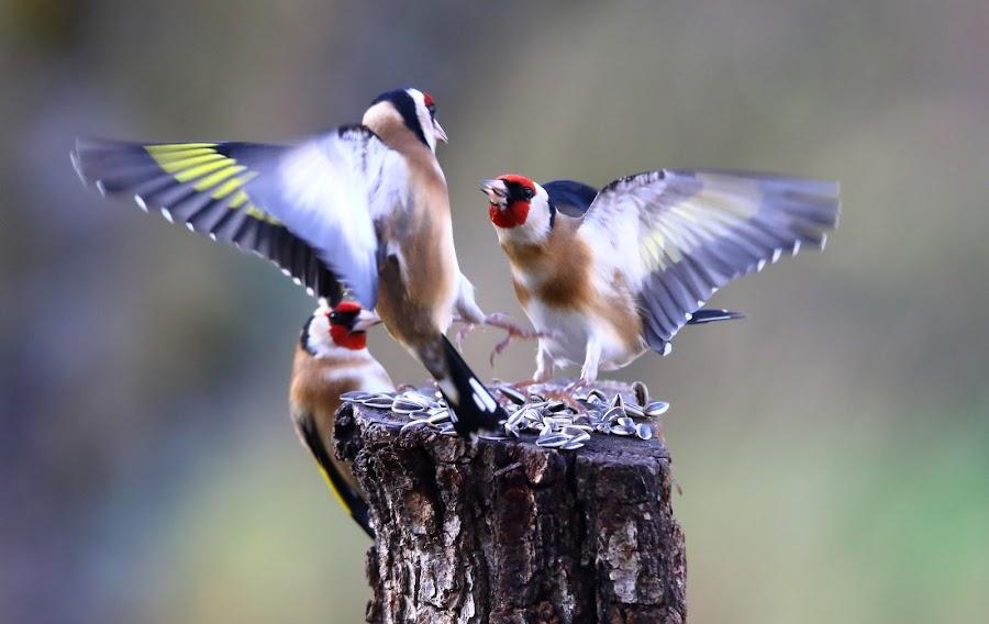 birdfight by Dirk Van den Berghen - Animals Birds