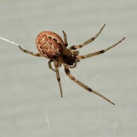 Small spider by Carol Leynard - Animals Insects & Spiders ( arachnids, 8 legs, cobwebs, spider )