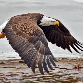 Bald Eagle by Herb Houghton - Animals Birds ( wild, bird of prey, eagle, bald eagle, herbhoughton.com, raptor )