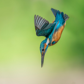 dip by Riccardo Trevisani - Animals Birds ( trevisani, wild, dip, riccardo, kingfisher, wildlife )