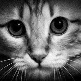 Pisso  by Anto Boyadjian - Animals - Cats Portraits ( kitten, cat, black and white )