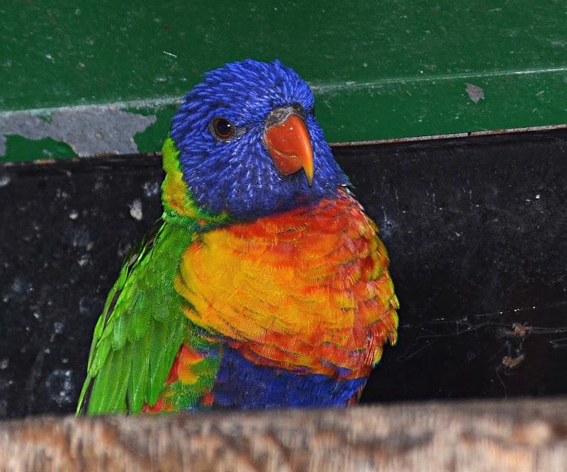 Lorichetto arcobaleno di vb63