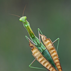 geometric mantis by Melchiorre Pizzitola - Animals Insects & Spiders ( animals, nature, wildlife, mantis, insect )