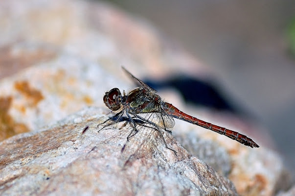 Dragonfly di jappone