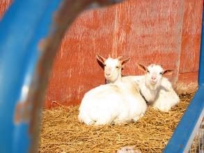 Photo: Happy goats
