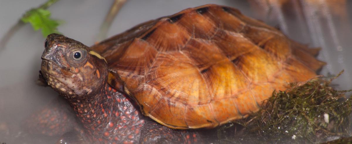 Image result for Black-Breasted Leaf Turtle