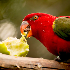 birdie by Aimee Osborne - Animals Birds ( bird, tongue, apple, beak, eating )