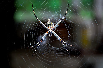 Photo: Spider in Manu National Park