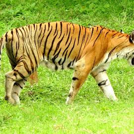 The King by SANGEETA MENA  - Animals Lions, Tigers & Big Cats (  )