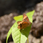 Tropical Buckeye Butterfly