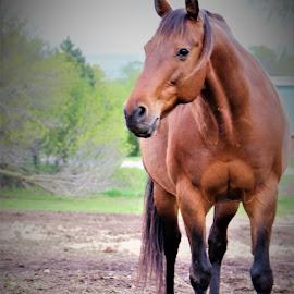 Pete by Linda    L Tatler - Animals Horses