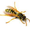 wasp removal service by san-tech