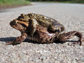 """Photo: Near Newport """"Frog went a courtin'"""" but unwise on tarmac. Luckily it was a quiet country road near Newport and I was able to take a few photos of the amorous couple and then lift them to the safety of the verge. I assume the male is the smaller? (Ed Wilson)"""