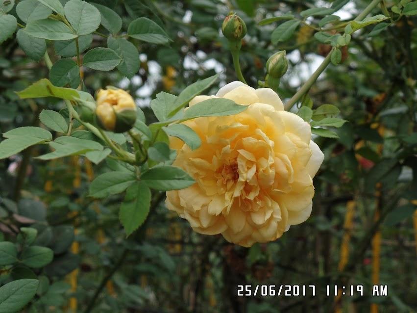 Chùm hoa hồng leo Golden celebration rose. Ảnh chụp ngày 25/06/2017