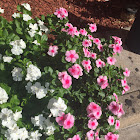Madagascar periwinkle or Rosy Periwinkle