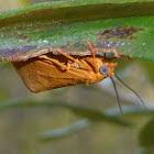 Virbia Moth