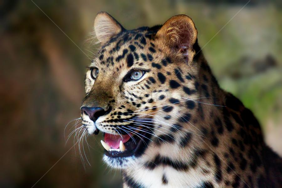 amur leopard by Brook Kornegay - Animals Lions, Tigers & Big Cats ( big cat, wildlife, amur leopard, portrait, leopard, animal,  )