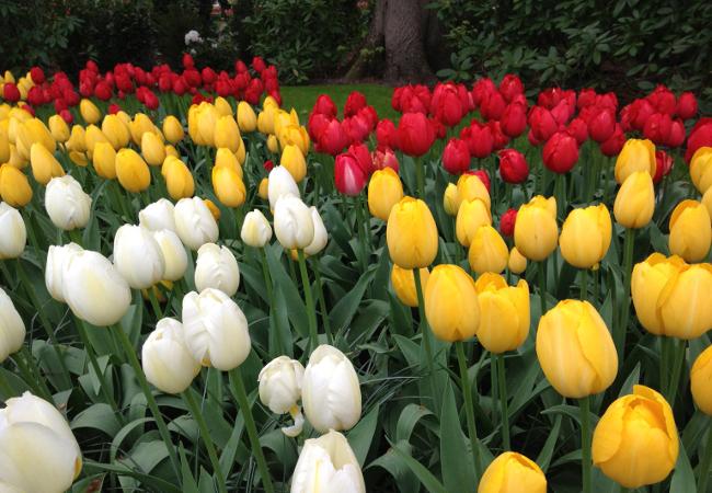 Тюльпаны 5.jpg