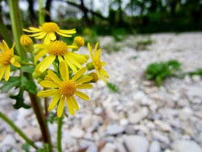 Photo: Yellow flowers on a rocky beach at Eastwood Park in Dayton, Ohio.
