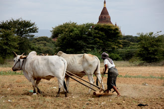 Photo: Year 2 Day 57 -  Ploughing Her Field in Bagan