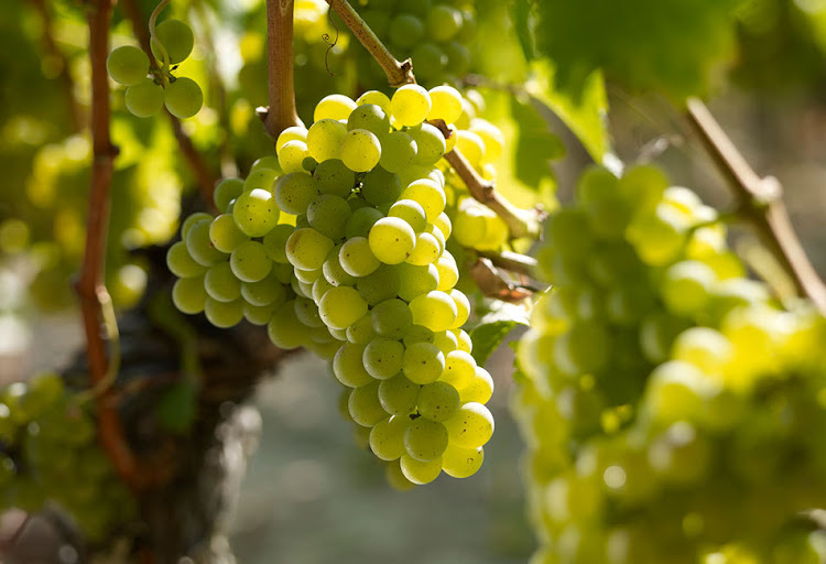 Sauvignon Blanc: a green-skinned grape variety that originated from the Bordeaux region of France