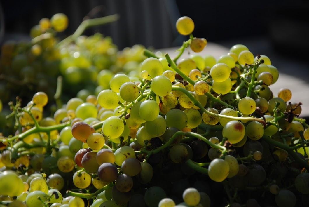 http://www.brabantsewijnbouwers.nl/starnet/media/gallery/images/Grapes7.jpg