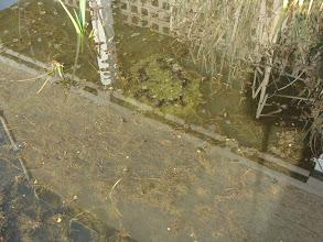 Photo: Kikkerdril in de vijver