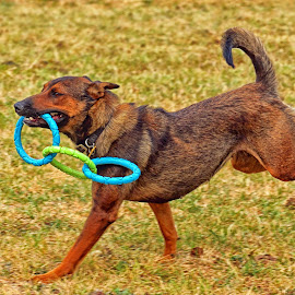Try and Catch Me by Twin Wranglers Baker - Animals - Dogs Playing (  )