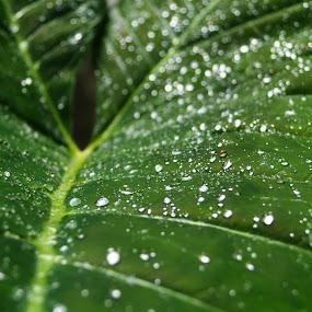 Diamonds on a green platter! by Abhishek Majumdar - Nature Up Close Leaves & Grasses